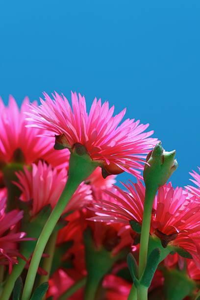 pinke blüte - gblu stock-fotos und bilder
