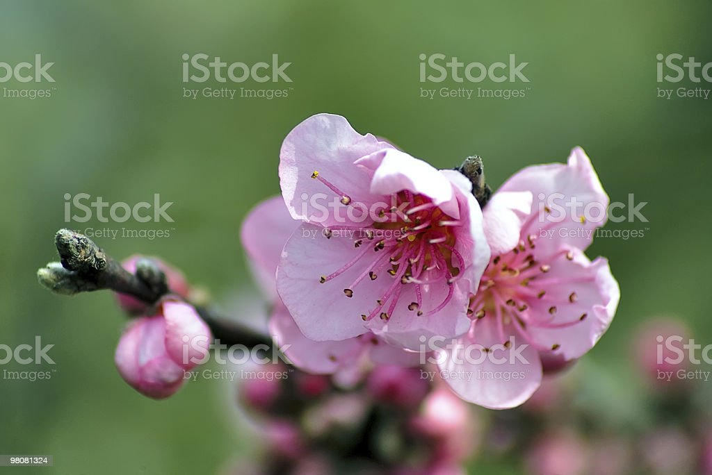 Pink blossom royalty-free stock photo