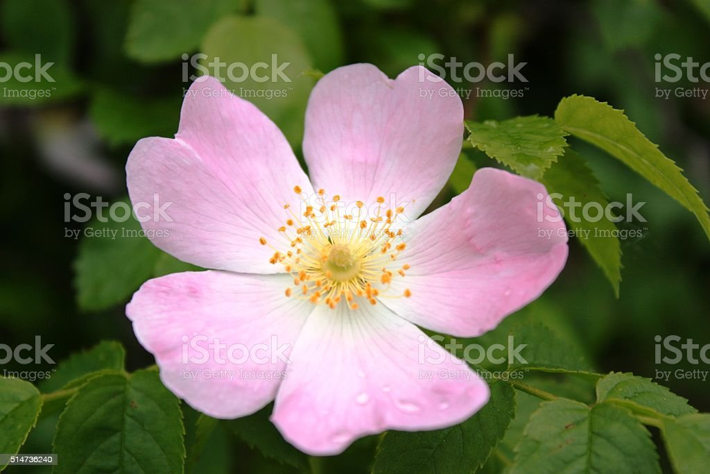 Pink blossom rose hips in nature stock photo