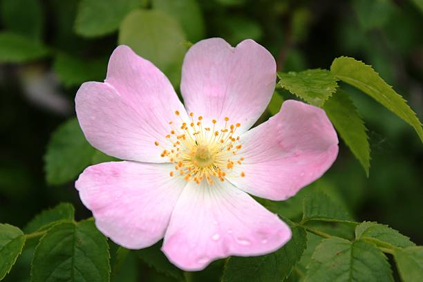 Pink blossom rose hips in nature Pink blossom rose hips in nature wild rose stock pictures, royalty-free photos & images