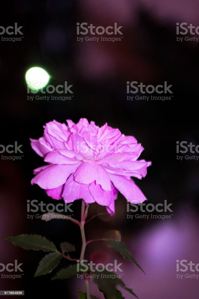 Pink blossom rose stock photo