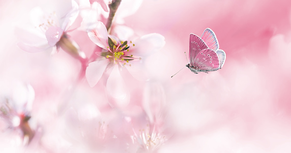 Pink blossoming almond and flying butterfly