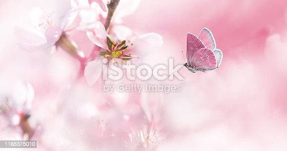 istock Pink blossoming almond and flying butterfly 1165375010