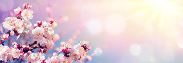 pink blossoms against sky at sunrise - spring blooming - sakura background stock photos and pictures