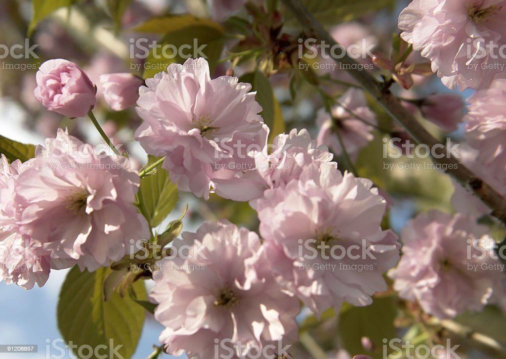 pink blossoms at spring time royalty-free stock photo