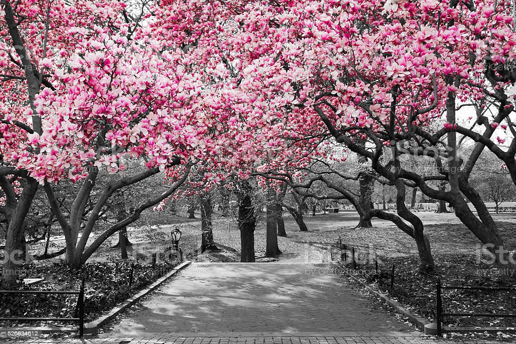 Pink Blossoms in Central Park Black and White Landscape stock photo
