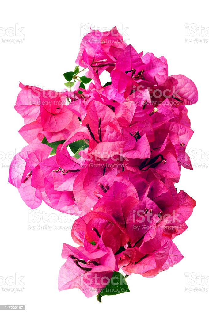 A pink blossoms of Bougainvillea on a white background  stock photo