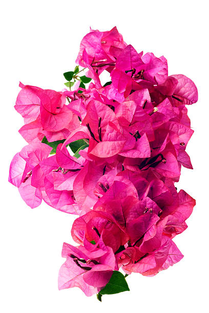 a pink blossoms of bougainvillea on a white background  - bougainville stockfoto's en -beelden