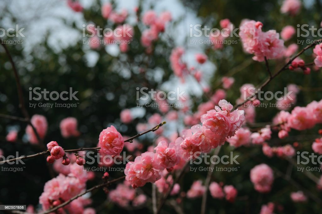 Pink blossoms of cherry - Royalty-free April Stock Photo