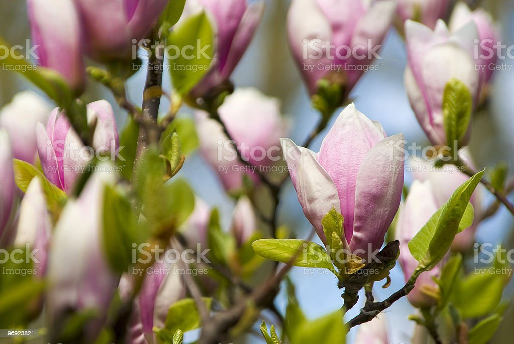 pink blossoms on a tree in spring royalty-free stock photo