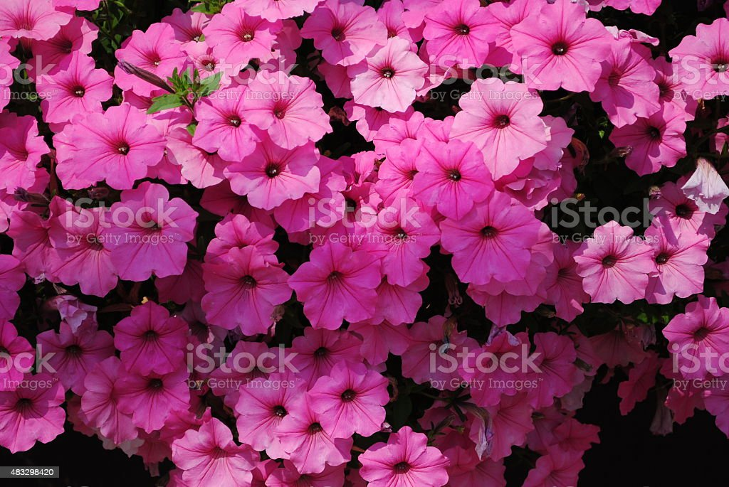 Pink Blossoms stock photo