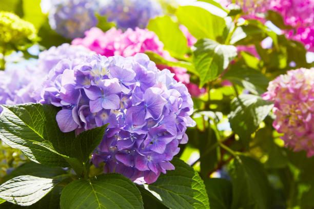 fleur d'hortensia rose, bleu, lilas, violet, violet (hortensia macrophylla) - couleur des végétaux photos et images de collection