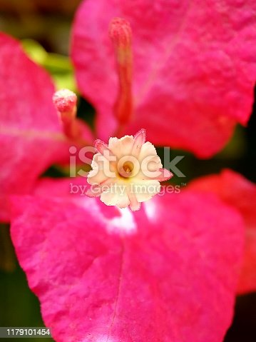 Pink bougainvillea isolated on white background