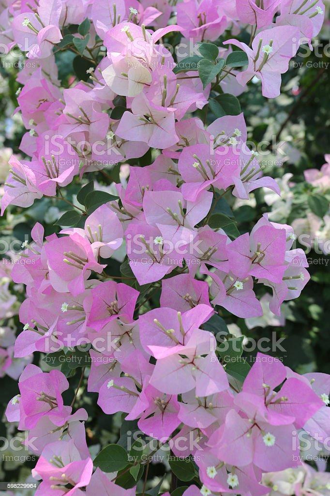 Pink Bougainvillea blooming on tree. foto royalty-free