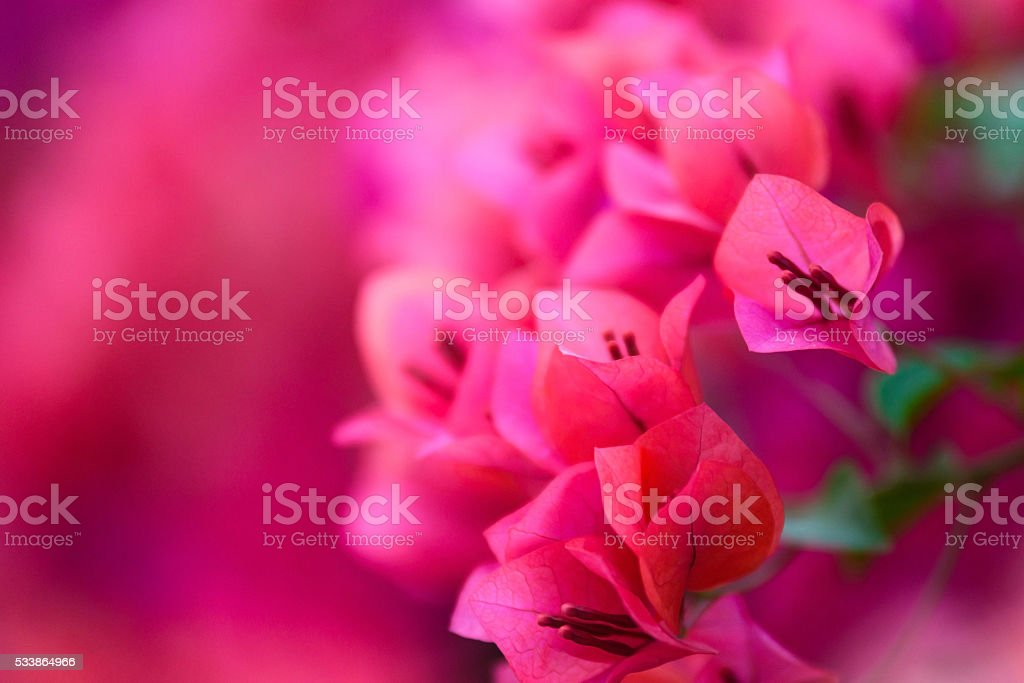 Pink bougainvillea blooms in the garden, soft focus stock photo