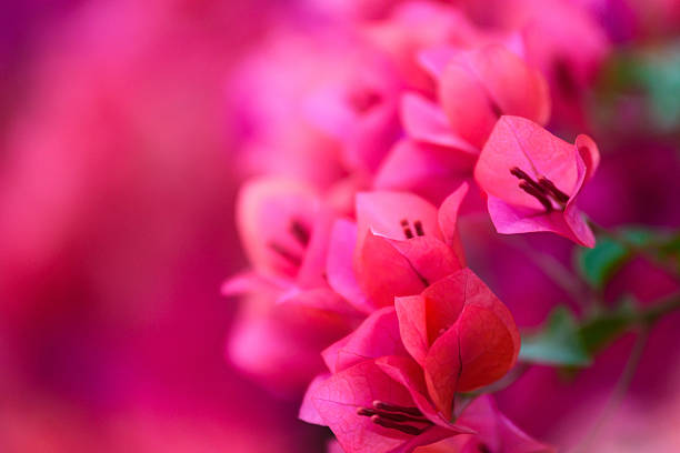 Buganvilia rosa flores en el jardín, foco suave - foto de stock