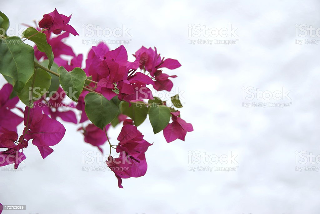 Pink Bougainvillea Dreamy Sky royalty-free stock photo
