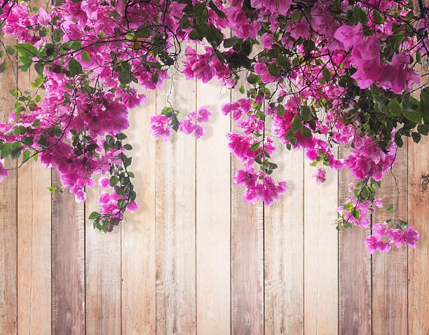 Rosa flor buganvilia  - foto de stock