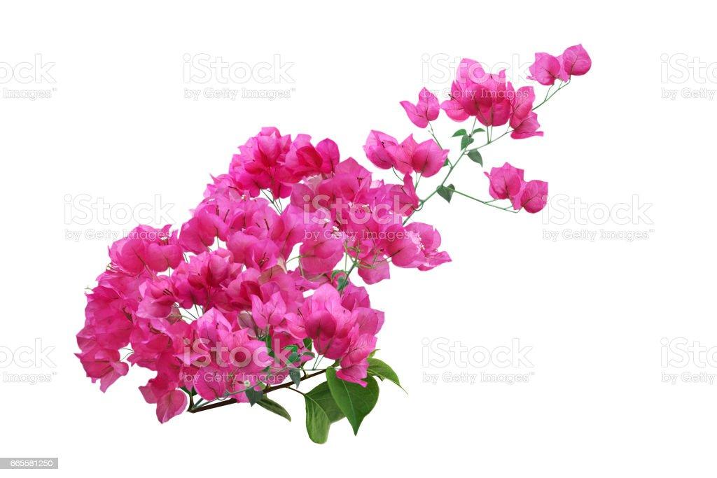 Pink Bougainvillea Flower – Foto