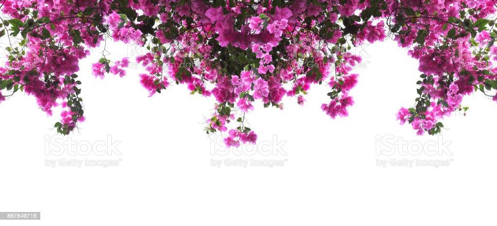 Pink Bougainvillea flower – zdjęcie