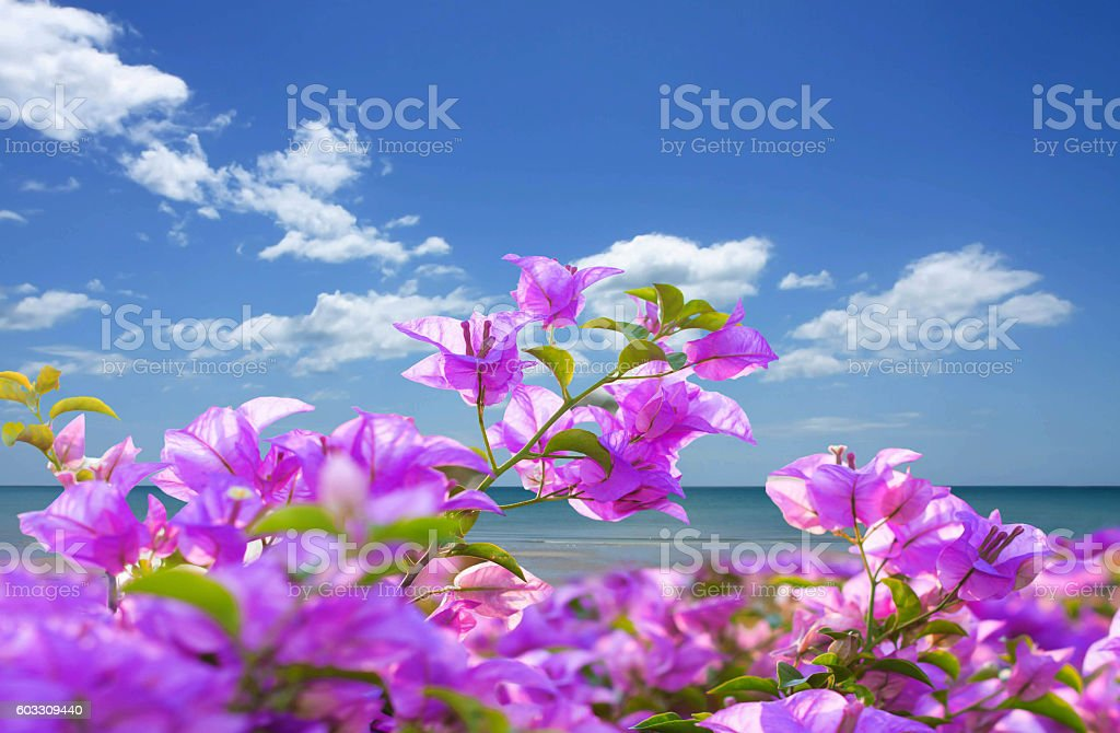 Pink bougainvillea  flowers and the beach with blue sky – Foto