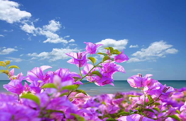 Pink bougainvillea  flowers and the beach with blue sky - foto de stock
