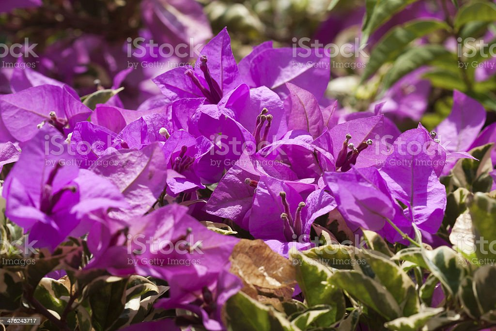 pink bougainvillea flowers, at sunny day royalty-free stock photo
