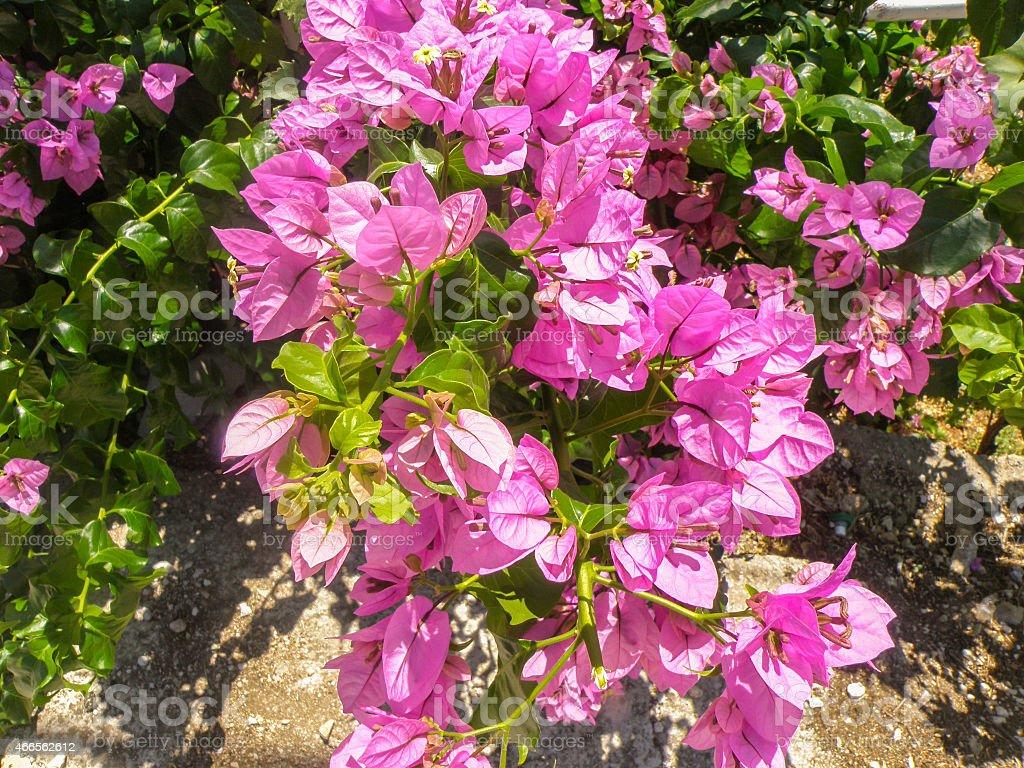 Pink Bougainvillea-Blumen auf die bush – Foto