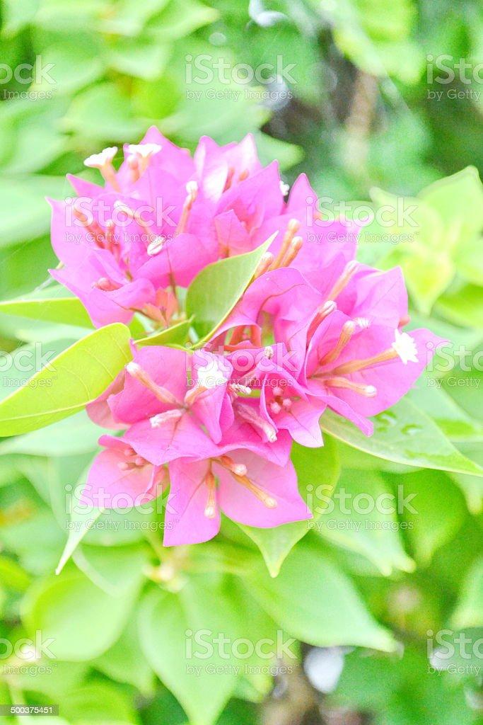 Pink Bougainvillea-Blumen – Foto