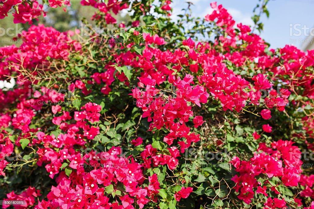 Pink bougainvillea-Blumen. – Foto