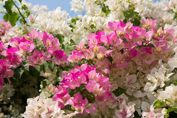 Rosa flores buganvilia - foto de stock