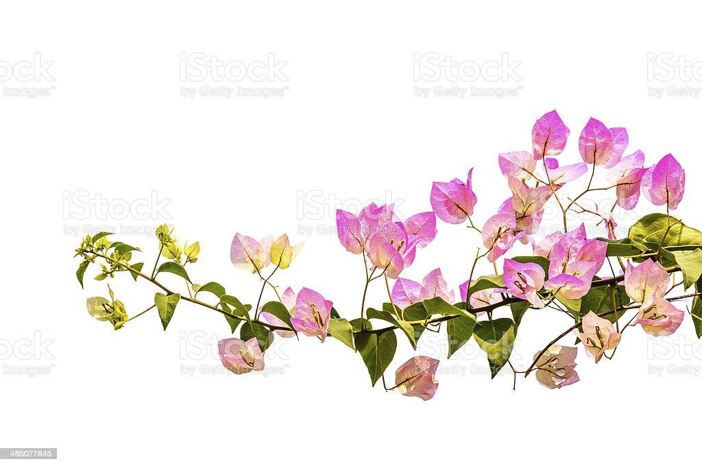 Pink bougainvillea Isoliert – Foto