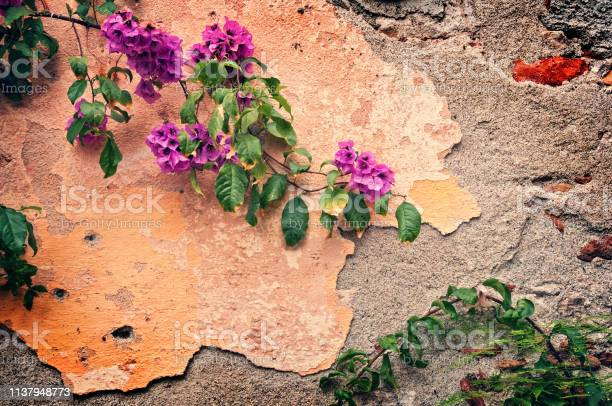 Pink bougainvillea on a wrecked wall vintage background picture id1137948773?b=1&k=6&m=1137948773&s=612x612&h=g4fi1rioaobpxfamy3fzsveycauo1lgyvvpw usjnkg=