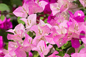 Pink bougainvillea and leaves on bluury background