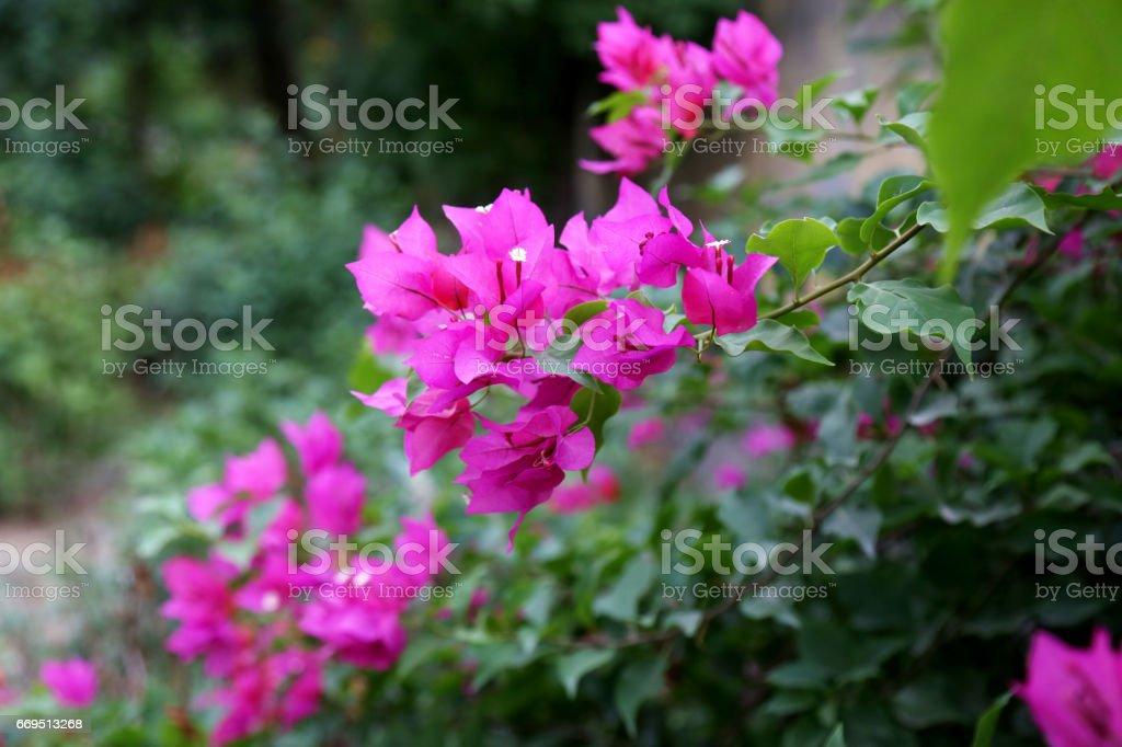 Rosa buganvilia - foto de stock
