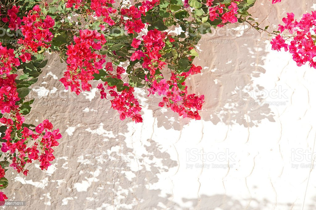 Pink bougainvillea, white wall stock photo