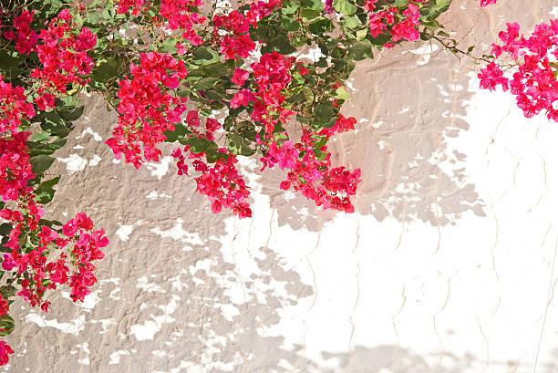 Rosa buganvilia pared, blanco - foto de stock