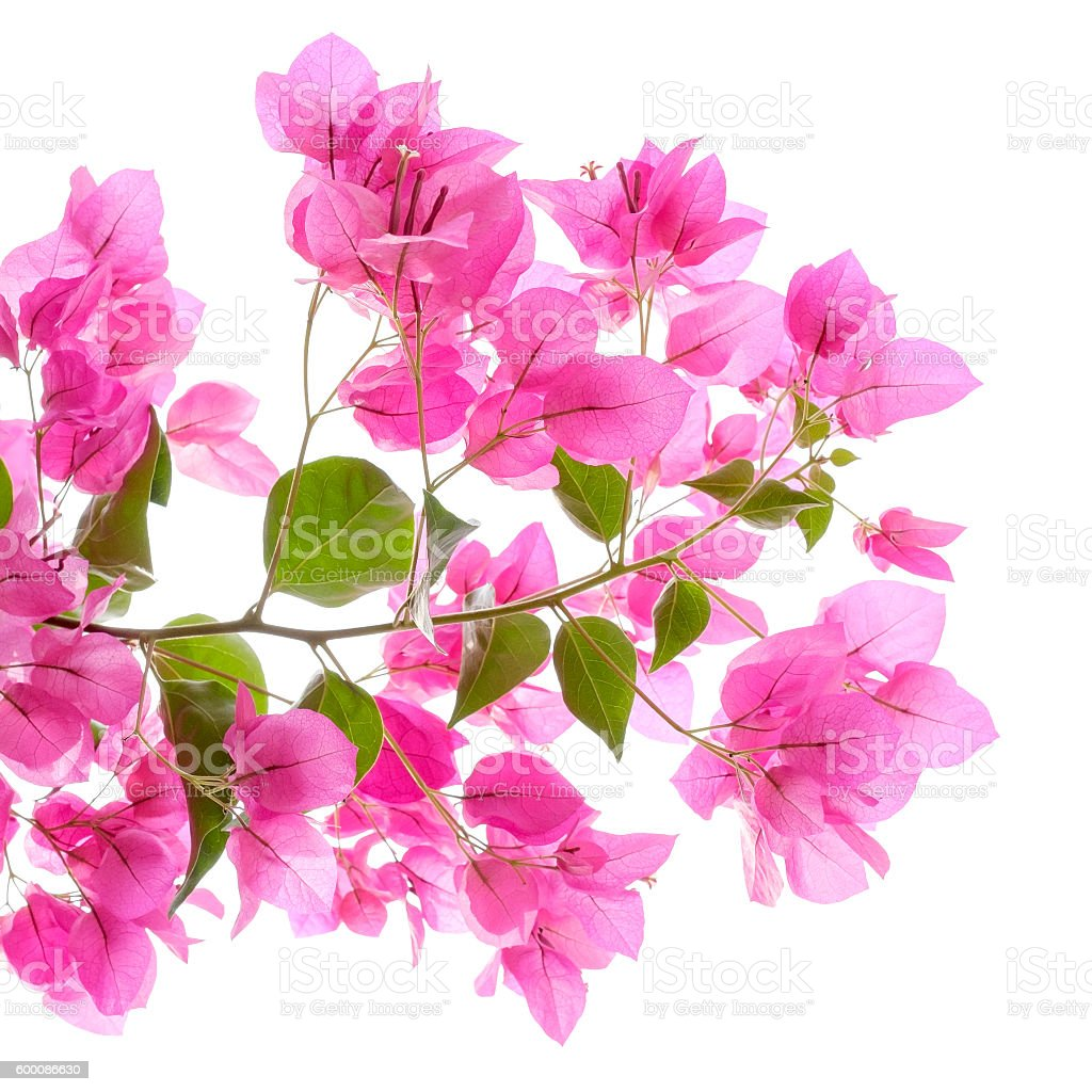 Pink bougainvilleas on white background isolated. stock photo
