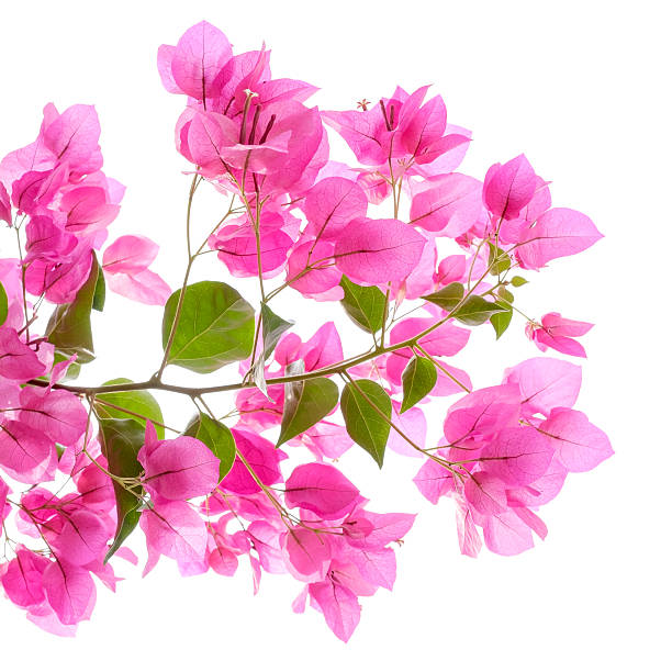 pink bougainvilleas on white background isolated. - bougainville stockfoto's en -beelden