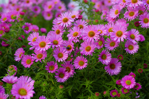Pink asters flowerbed. Beautiful flowers in the garden. Aster petals close up. Bright romantic floral background. Purple flowers on a green background. Flowering plant