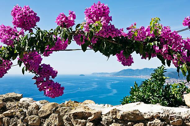 Rosa Buganvilias flores. Imagen de Color - foto de stock