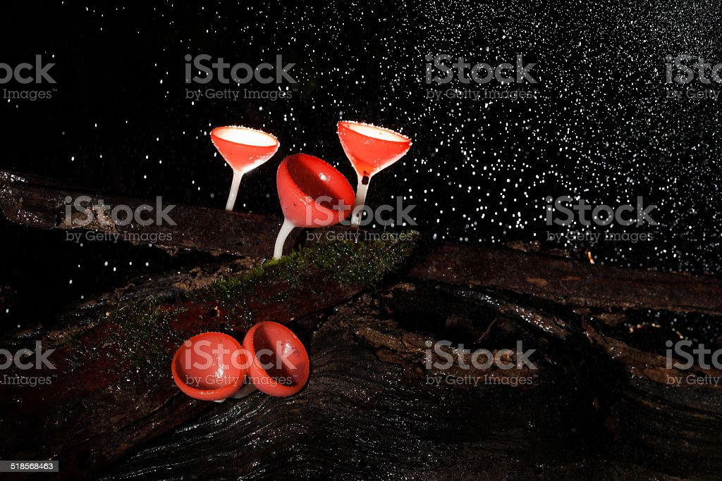 Pink burn cup mushroom stock photo