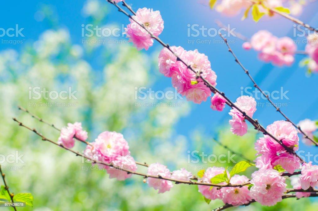 foto de Photo libre de droit de Fleurs Rose Bush Au Printemps Avec Les ...