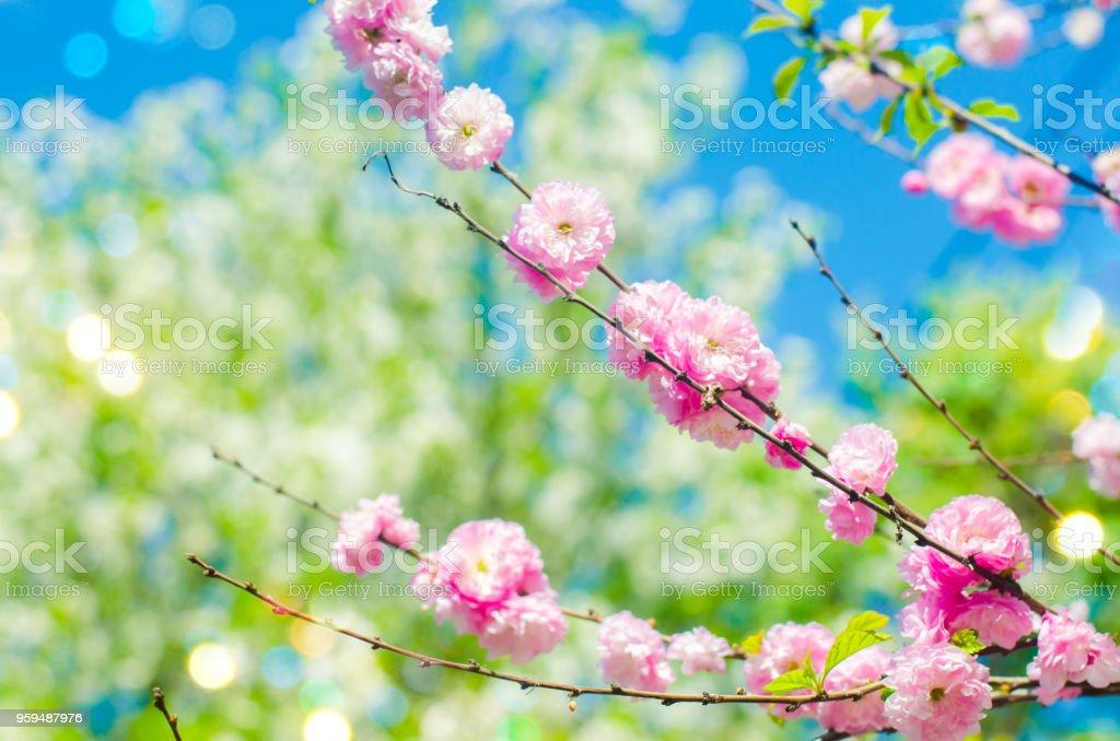 foto de Photo libre de droit de Fleurs Rose Bush Au Printemps Avec Des ...