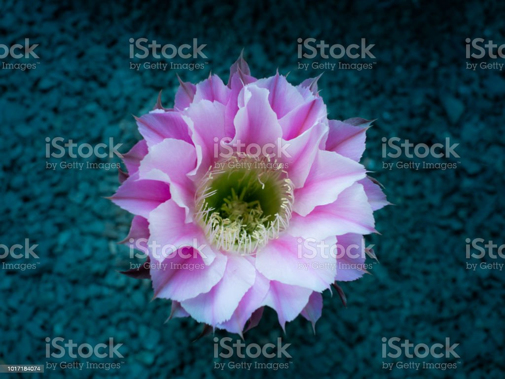Pink Cactus Flower Blooming Stock Photo More Pictures Of Abstract