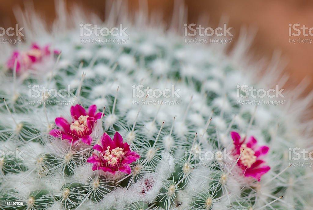 cactus de flor rosa. - foto de stock