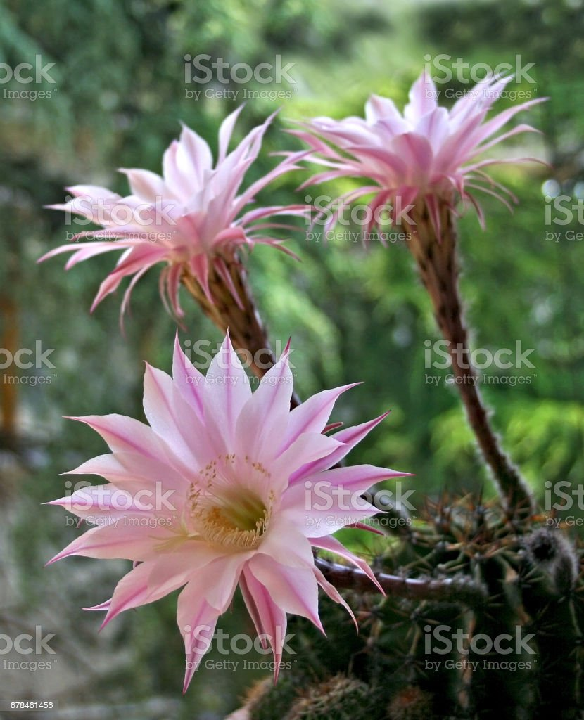 Pink Cactus flower royalty-free stock photo