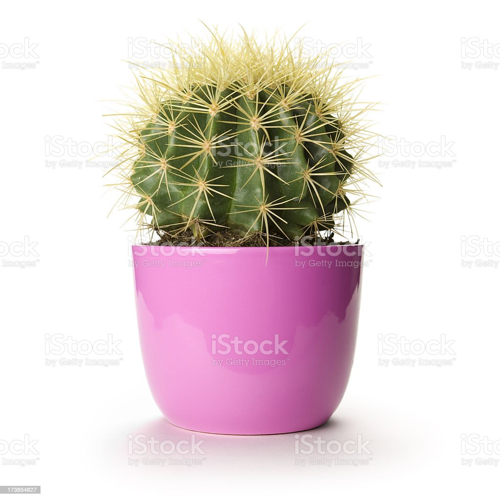 Pink cactus flower pot isolated plant white houseplant stock photo pink cactus flower pot isolated plant white houseplant royalty free stock photo mightylinksfo