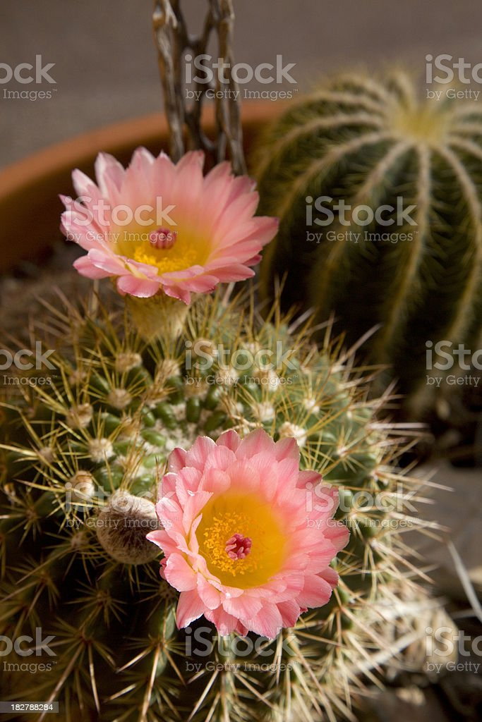 Pink Cactus Flower with Yellow Center royalty-free stock photo