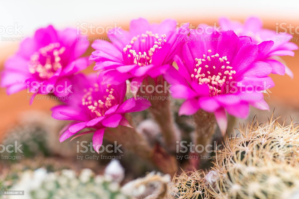Pink cactus flower,Lobivia stock photo